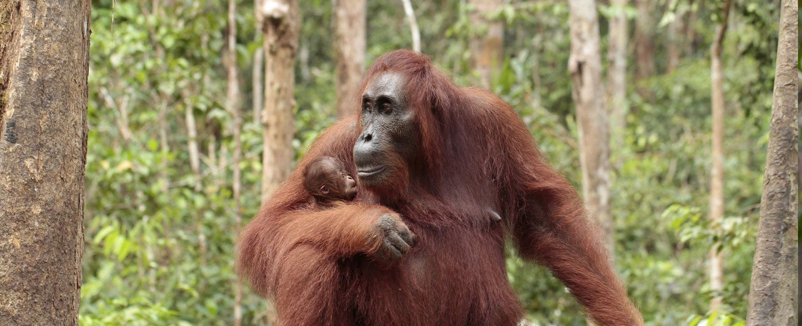 sumatran orangutan facts
