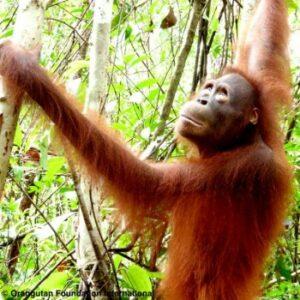 Uci Orangutan Foundation International