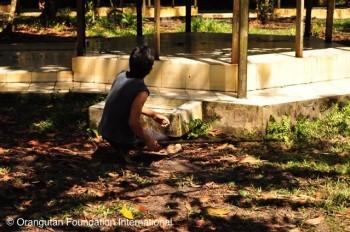 Orangutan Foundation International Staff member preparing to shoot tranquilizer.