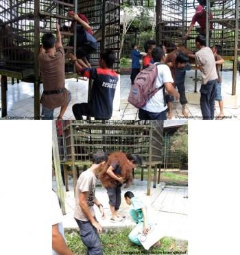 Orangutan Josmik's transfer.