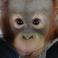 orangutan-face