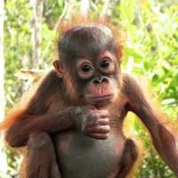 young orangutan looking at camera