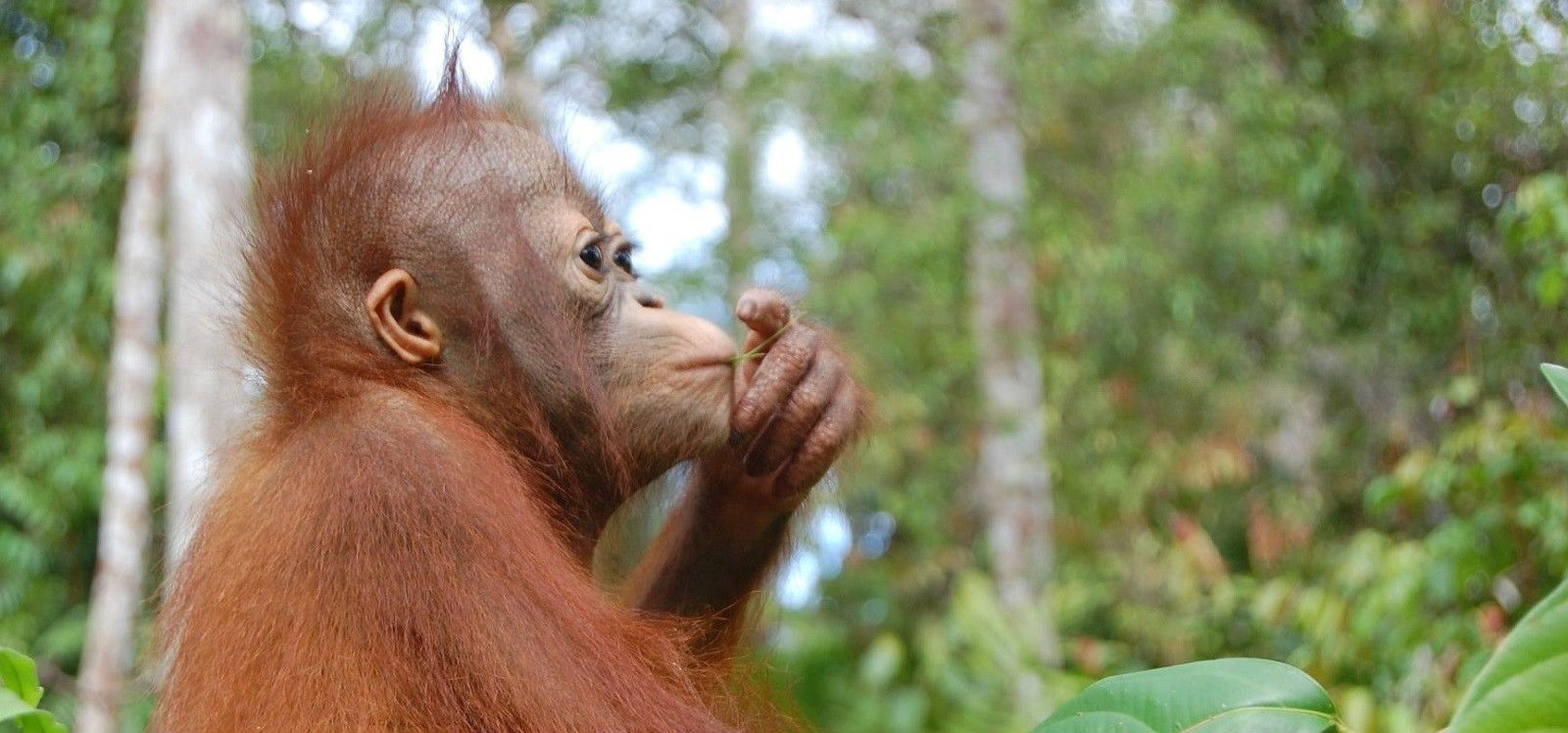 <span>Foster an<br>Orangutan</span>
