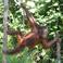 orangutan-bio-thumb