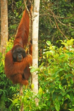 adult orangutan in tree