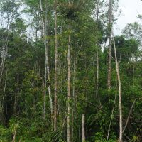 Orangutan Legacy Forest Land Purchase Program donate Orangutan Foundation International