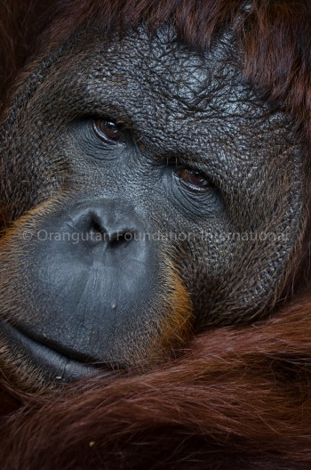 Congo adult male orangutan