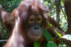 orangutan Vanessa