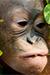 orangutan-face-50-75