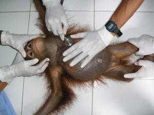 Infant-orangutan-orphan-gets-check-up