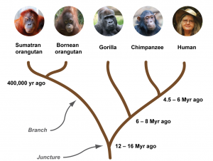 The great ape phylogenetic tree. All great apes shared a common ancestor until approximately 12–16 million years ago. Around this time, orangutans diverged from the tree and evolved into a separate species. Gorillas separated approximately 6–8 million years ago, while chimpanzees and humans shared a common ancestry until ~4.5–6 million years ago, when they split up into distinct species. Figure based on [1].