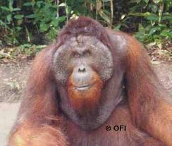 kusasi orangutan