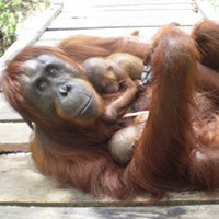 orangutan-twins-thumbnail