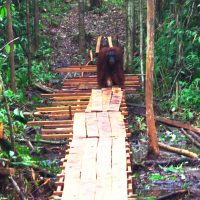 Adult Male Orangutan on bridge