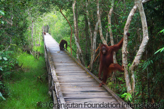 Orangutans wait on the boardwalk at Camp Leakey, curious to see the visitors.