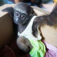 Gibbon-dea