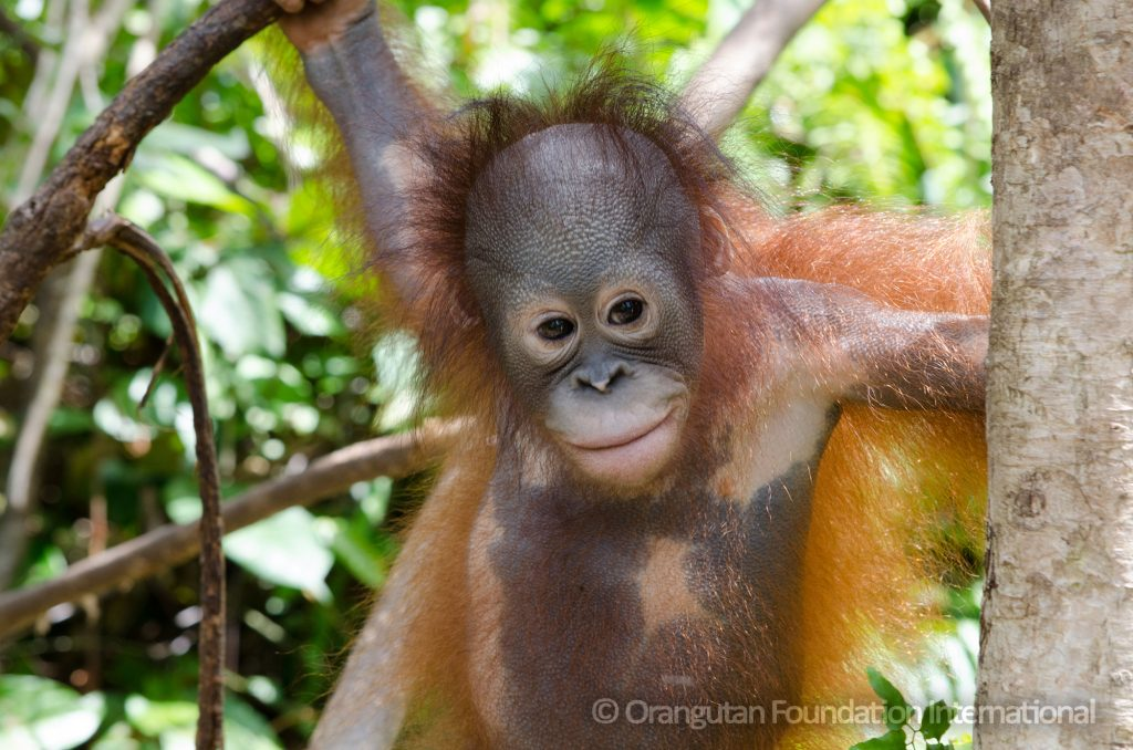 orangutan cory marder orangutan foundation international foster program palm oil say no to palm oil