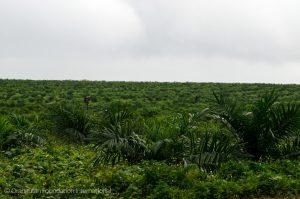 Borneo indonesia rainforest deforestation palm oil plantation orangutan foundation international conservation say no to palm oil