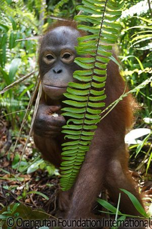 orangutan in bush