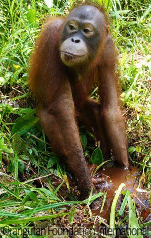 orangutan in swamp