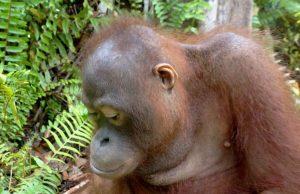 orangutan mimi looks at ground