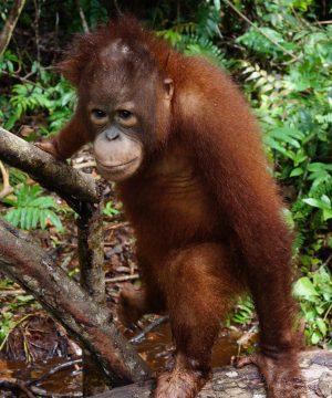 Satria the orangutan