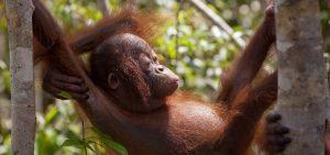 baby-orangutan-hammick-750