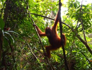 Nawi the orangutan in the trees
