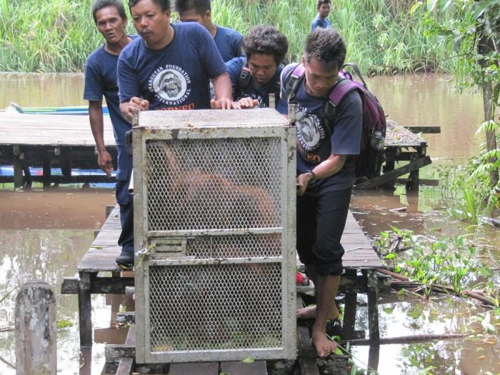 orangutan on dock