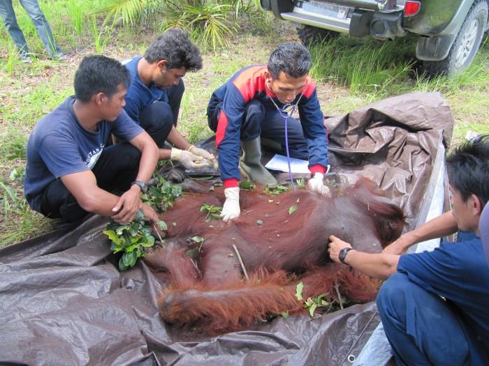 Vet with orangutan
