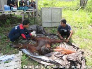 Vet and orangutan