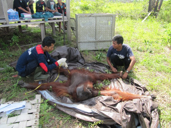 Vet and orangutan