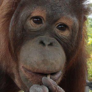 Piko the orangutan