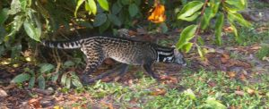 Malayan Civet Viverra tangalunga