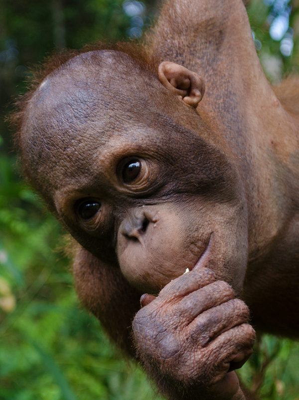 Foster Mason animal adoption Orangutan Foundation International