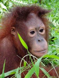 Foster Mabel Orangutan Foundation International