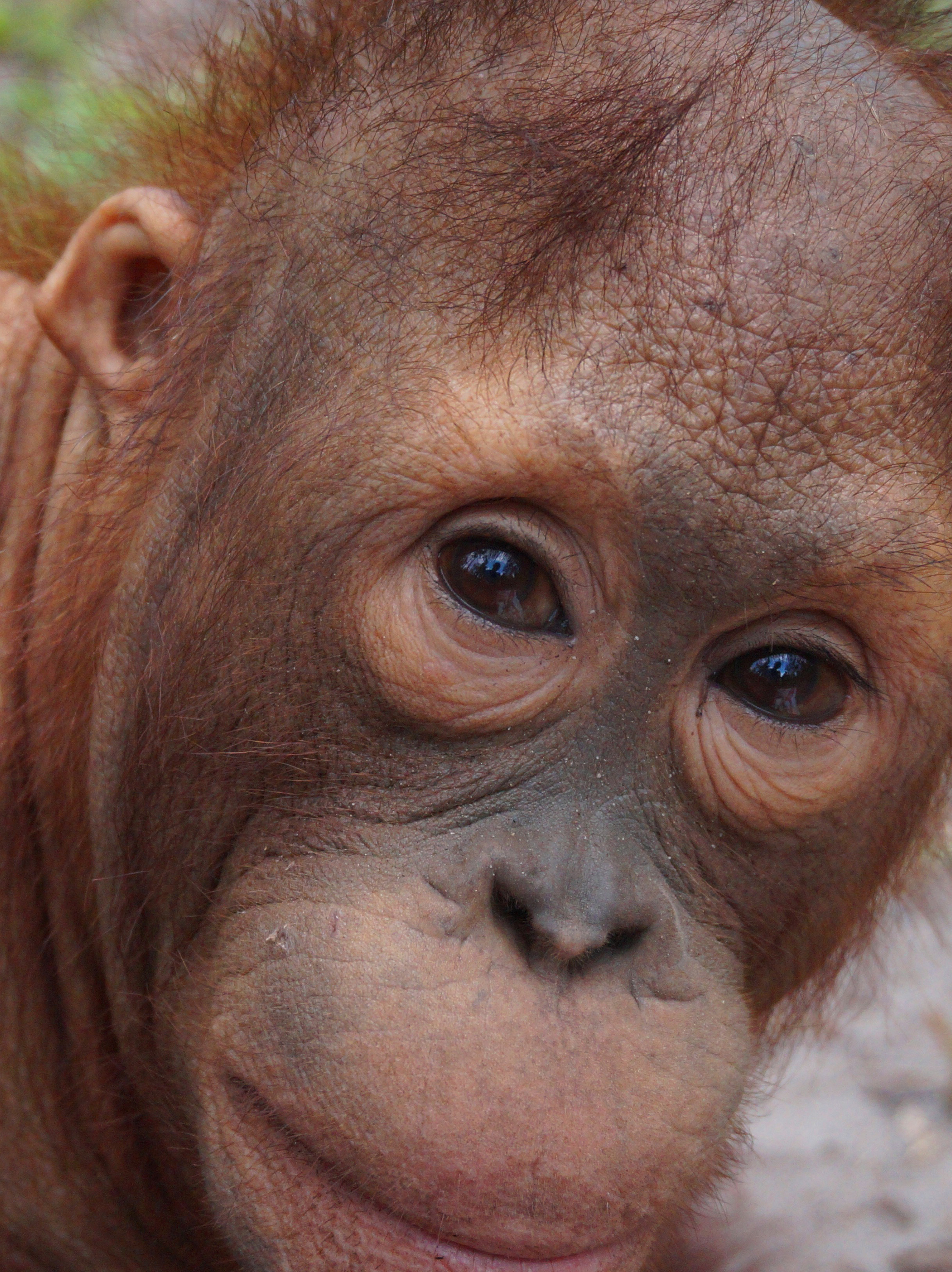 George Baru Orangutan Foundation International Foster Program