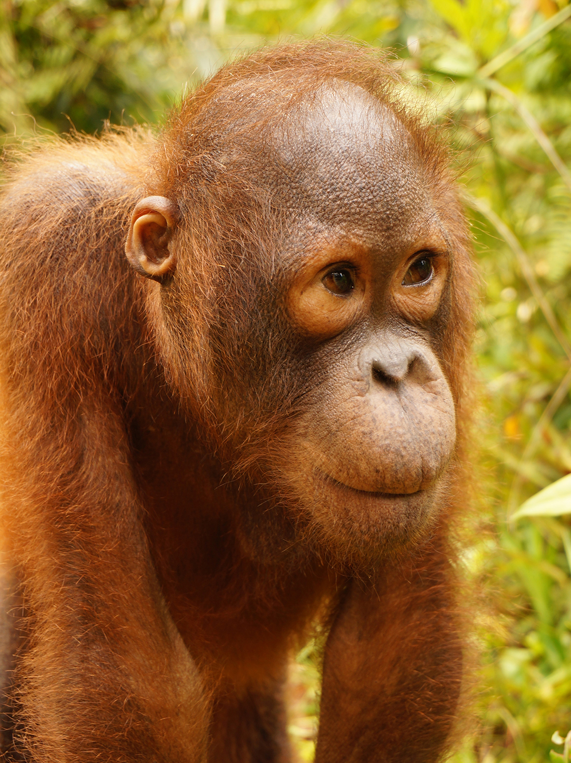 Karbank Orangutan Foundation International Foster Program