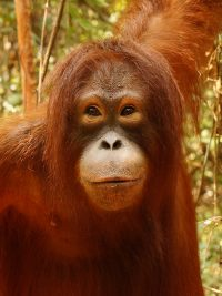 Krista foster Orangutan Foundation International