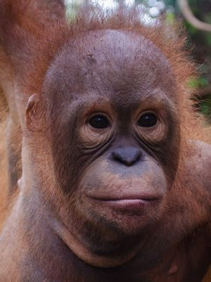 Bayat Foster Orangutan Foundation International