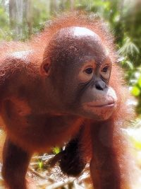 Foster Bayat animal adoption Orangutan Foundation International