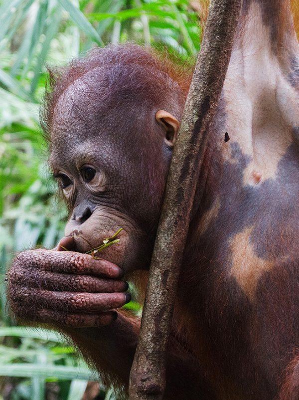 Foster Cory Marder animal adoption Orangutan Foundation International