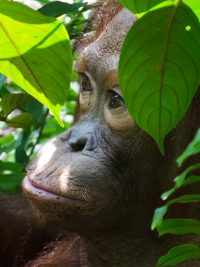 Foster George Baru animal adoption Orangutan Foundation International