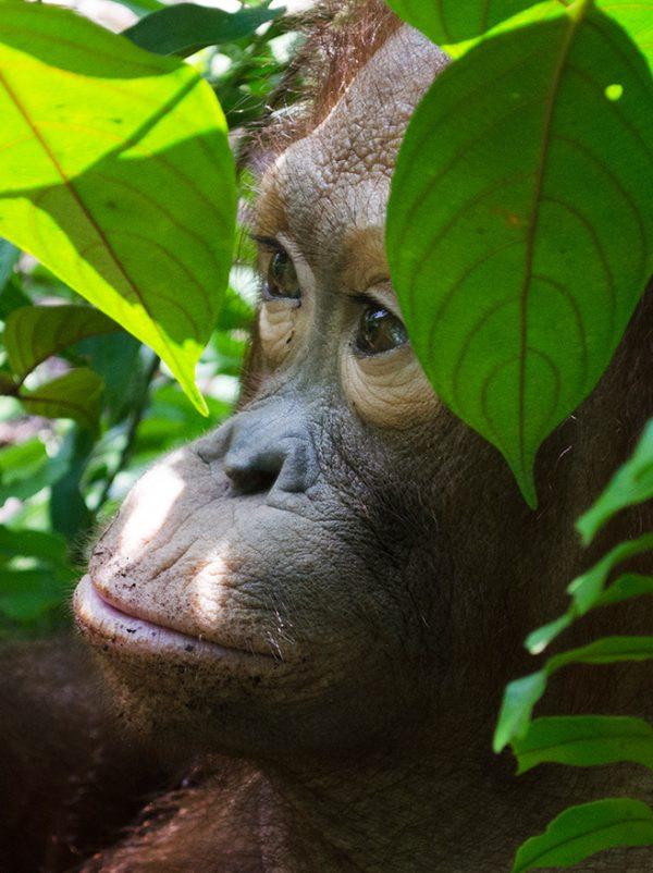 Foster George Baru animal adoption Orangutan Foundation International