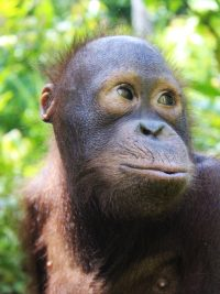 Foster Karbank animal adoption Orangutan Foundation International