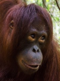 Foster Krista animal adoption Orangutan Foundation International