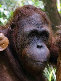Foster Lanang animal adoption Orangutan Foundation International