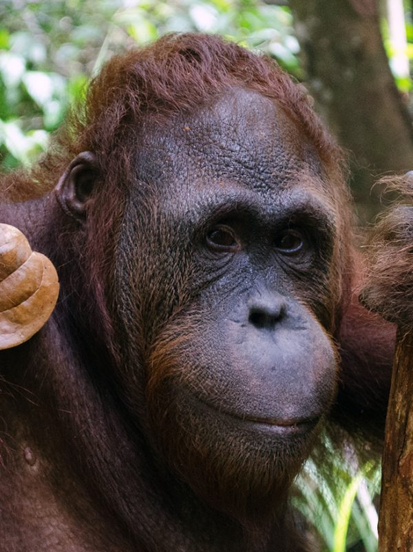 Foster Lanang animal adoption Orangutan Foundation International