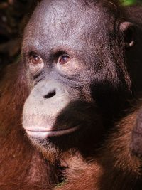 Foster Lear animal adoption Orangutan Foundation International