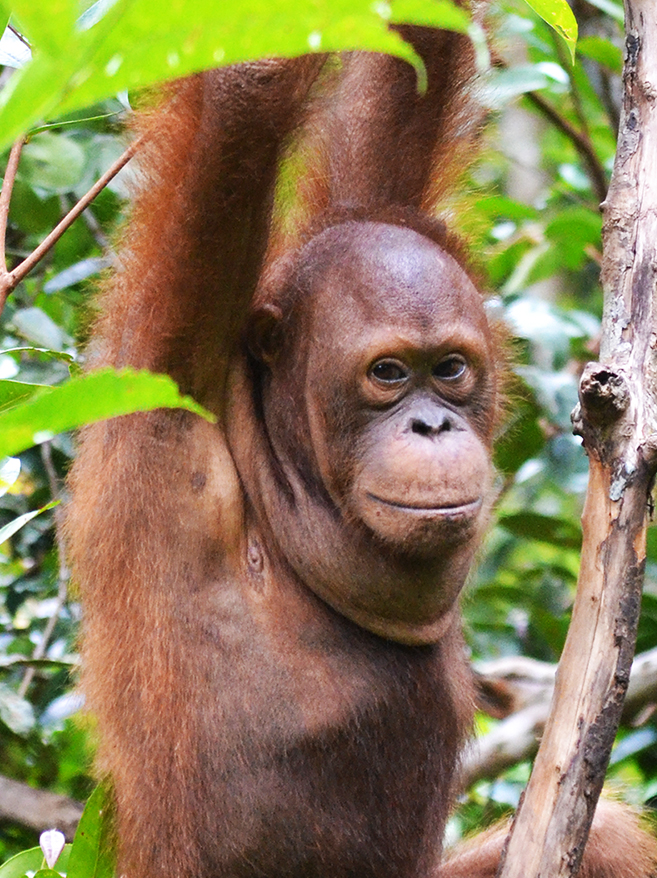 Foster Mr Bernie animal adoption Orangutan Foundation International